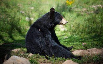 O que significa sonhar com um urso preto? Simbolismo e significado espiritual