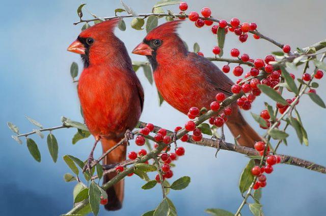 O que significa quando você vê um cardeal? Simbolismo e significado