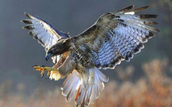 Descubra o que um falcão simboliza