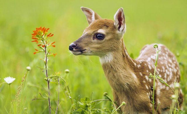 O que significa quando um cervo olha para você? Significado e simbolismo