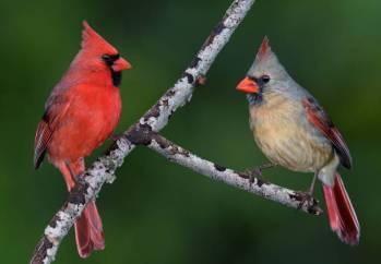 Significados cardeais, simbolismo e o animal do espírito cardeal