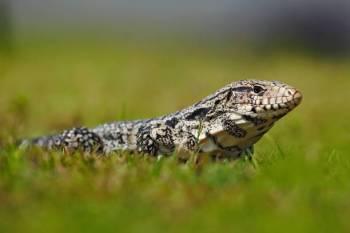 Simbolismo, sonhos, significado e mensagens do lagarto