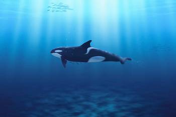 O animal do espírito orca – Simbolismo e significado