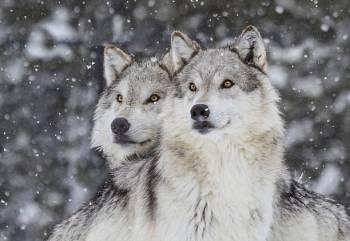 Simbolismo, significados e o animal do espírito do lobo