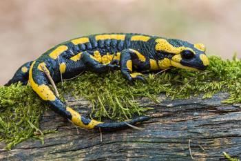 O espírito da salamandra, significados de animais