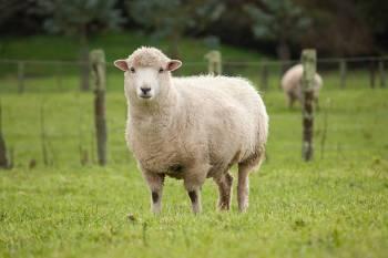 Animal do espírito de carneiro: Mostrando seus pontos fortes