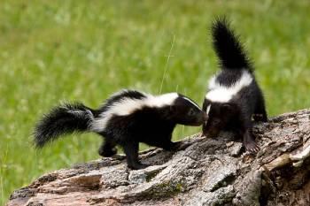 Simbolismo e significado da skunk