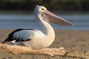 Significado e simbolismo animal do espírito do pelicano
