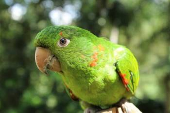 Simbolismo do papagaio e significado do totem espiritual