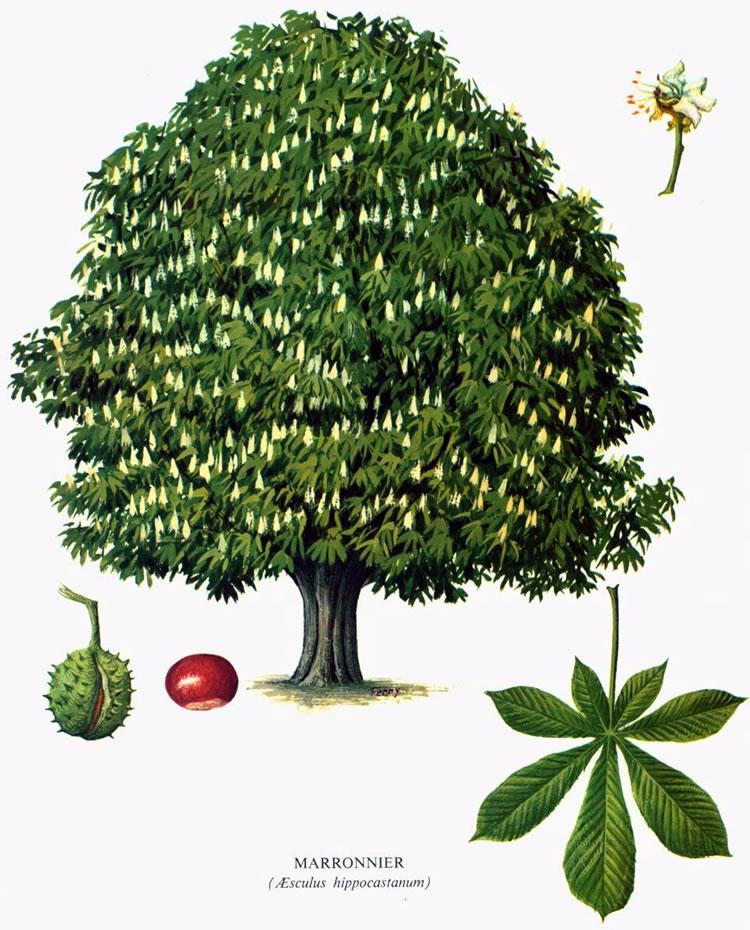 Fiche botanique marronnier