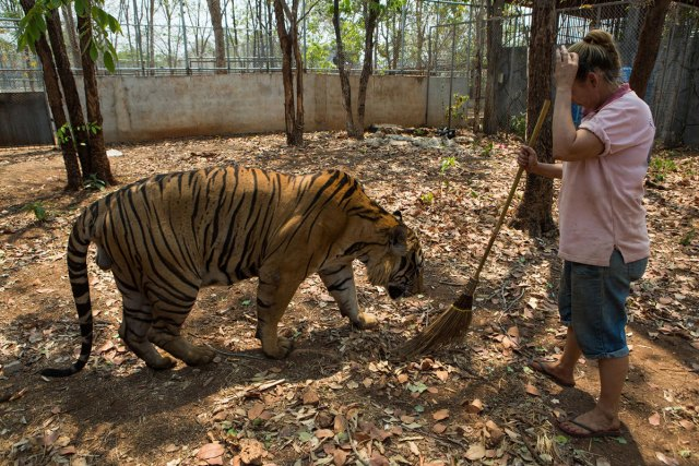 A volunteer tiger handler with one of the tigers in an outdoor enclosure. The caretakers say they are deeply concerned about the fate of the tigers - both during the traumatic removal process and in the new facilities.