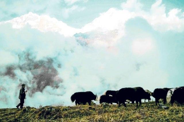 Yaks are often taken to graze near the lush fields of Khopra Lake.
