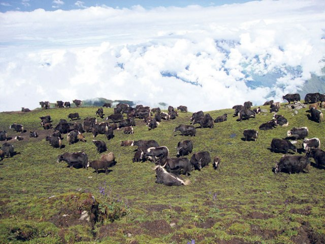 A herd of yaks graze in the meadows of Nangi. The village has been involved in commercial animal husbandry along with other economic activities.