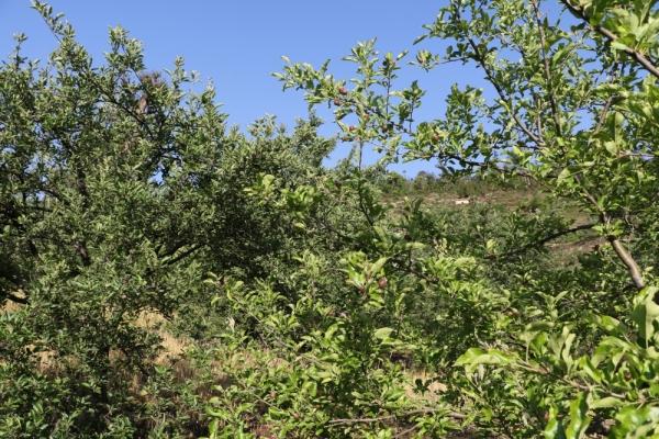 apple farming Nepal 3
