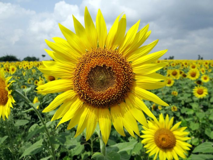 Sunflower garden, Karnataka. Top places to visit in South India