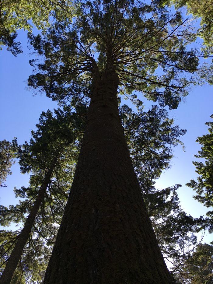Huge trees