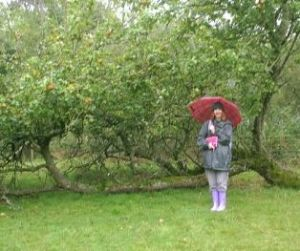 Ann Smith in an orchard at Breadstone, Berkeley. This fallen is still fruiting well!