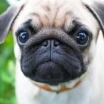 All the Dog's Fault! Count Dankula 'Nazi Pug' News-Roundup