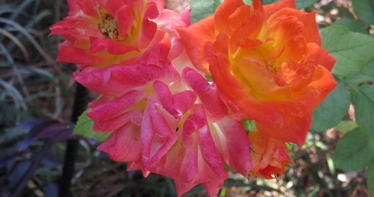 Fall in Full Bloom at Glover Gardens: an e-Postcard