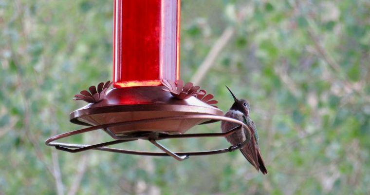 haiku: hungry hummingbird