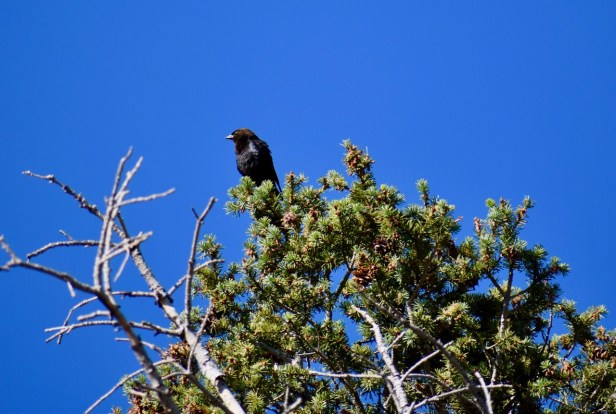Brown-headed cowbird sentry