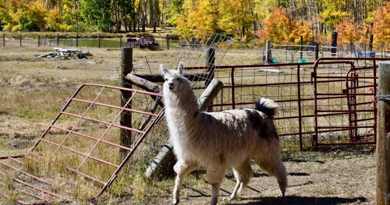 Haiku: The Uninterested Llama