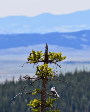Gray Jay and Mountains in Sunlight