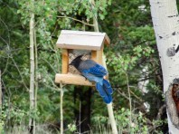 Stellar's Jay on Feeder