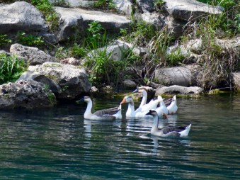 Swans in a Tight Group