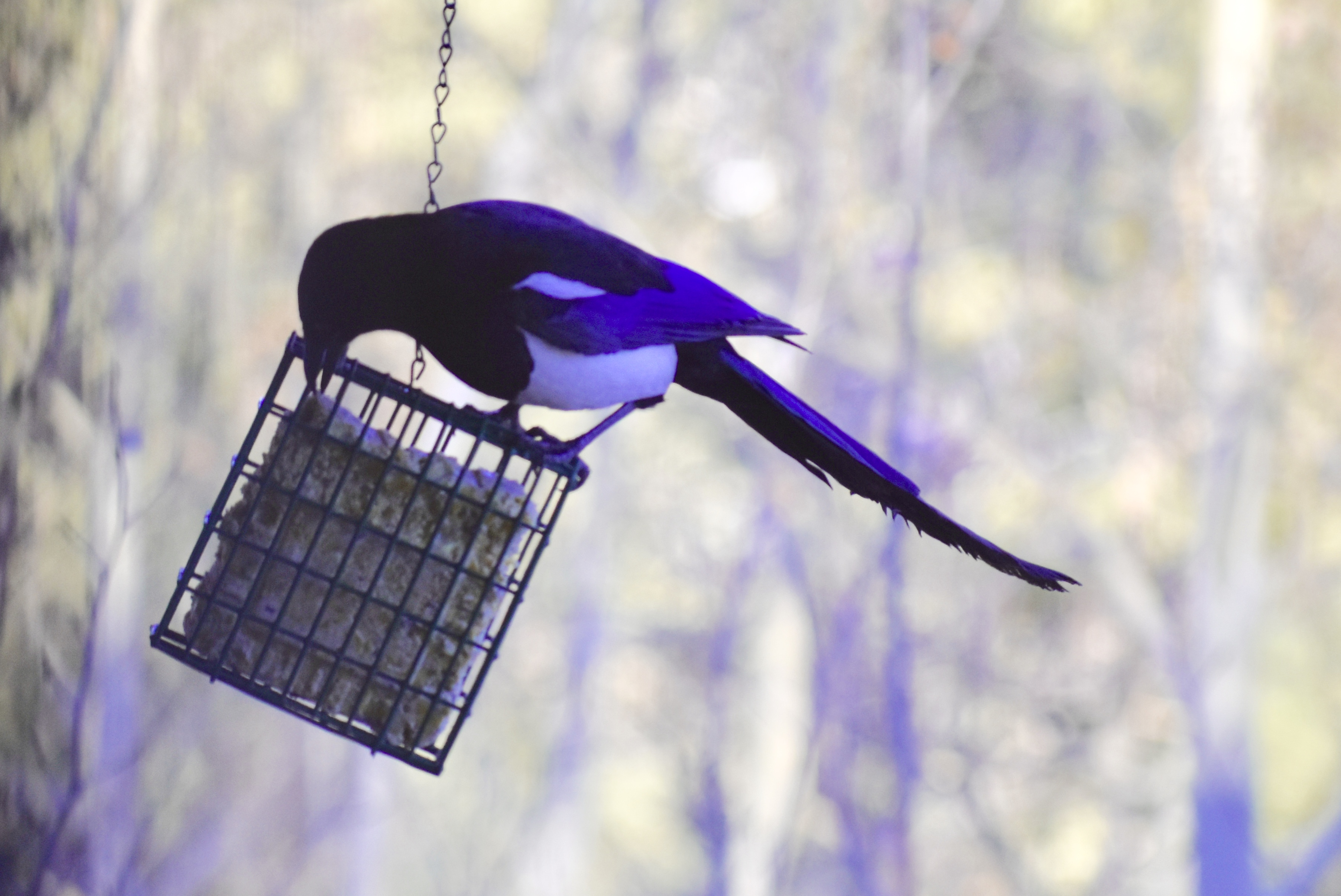 Haiku: Magpie's Blue Period