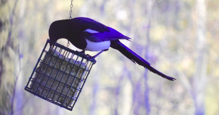 Haiku: Magpie's Blue Period