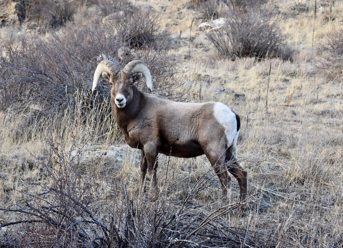 3 Haiku for a Bighorn Sheep