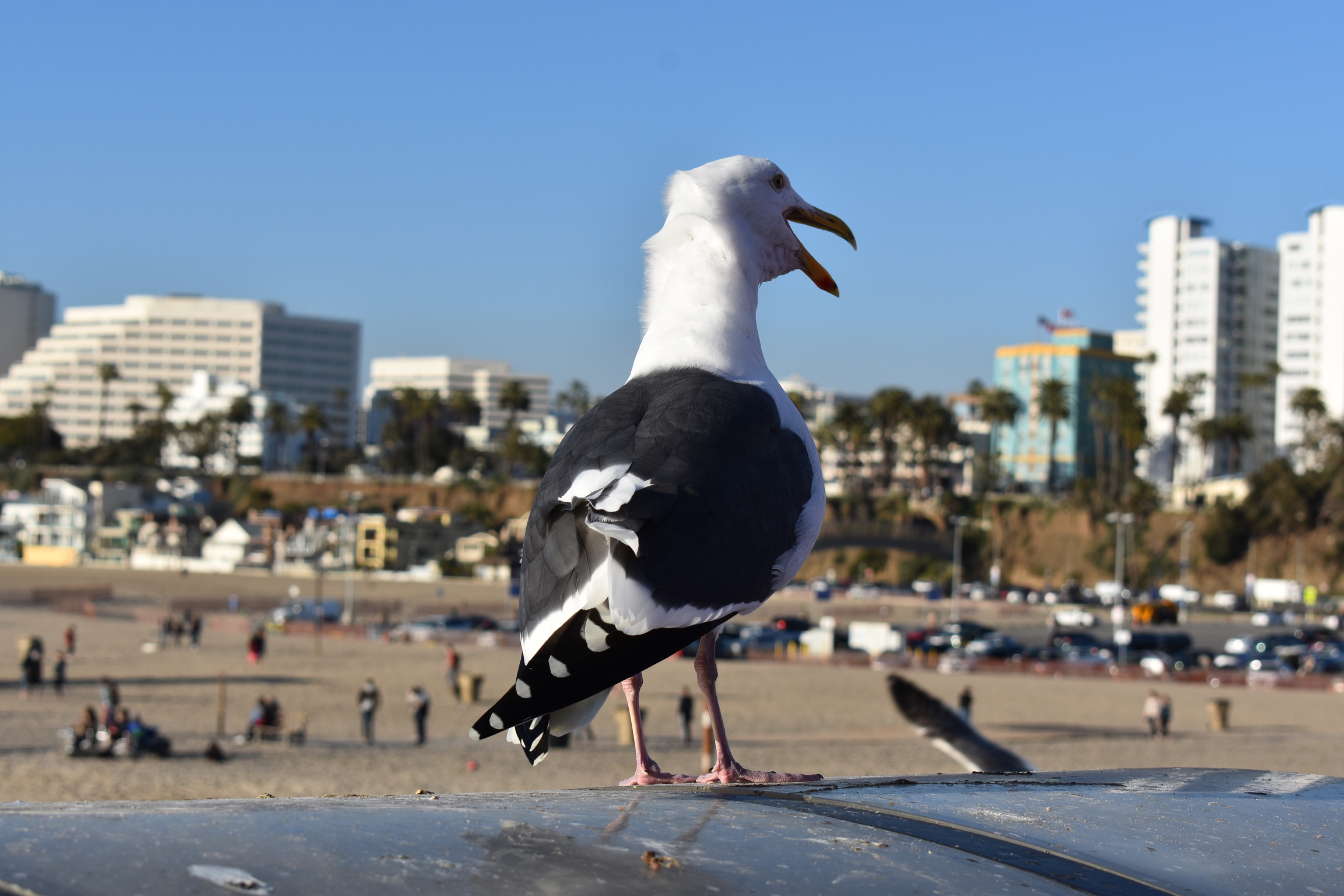 Santa Monica Pier Seagull's Stories – Can You Help?