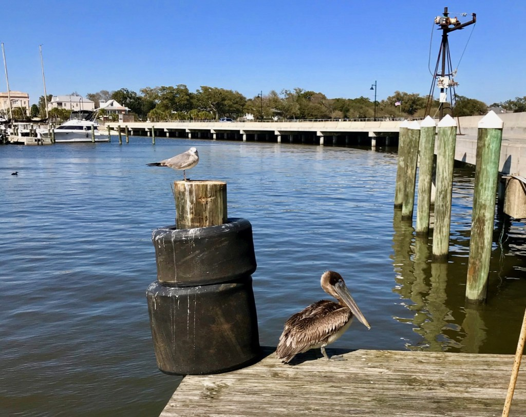 Brown Pelican and Seagull