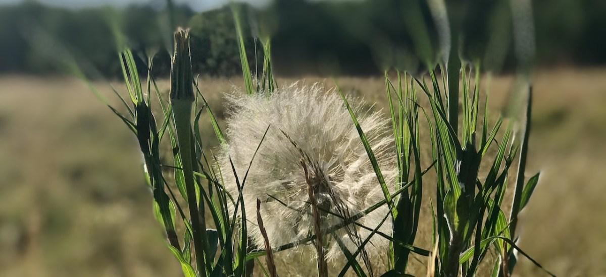 Dandelion Meditations (and a haiku)