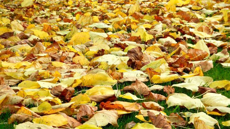 Golden leaves make a carpet