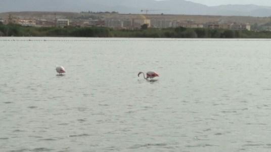 Sardinien-Teil-4-maskottchen-Flamingo