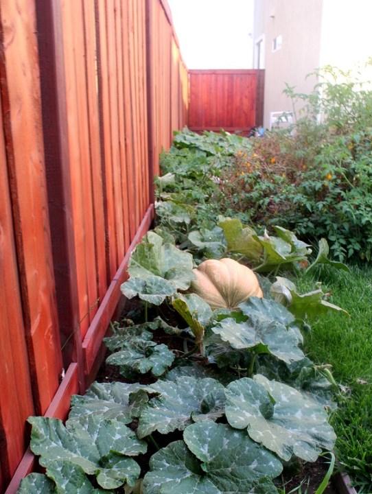 home grown pumpkins
