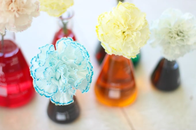 This colored carnations science experiment doubles as a beautiful centerpiece! Watch as the color rises through the stem and throughout the petals like magic!