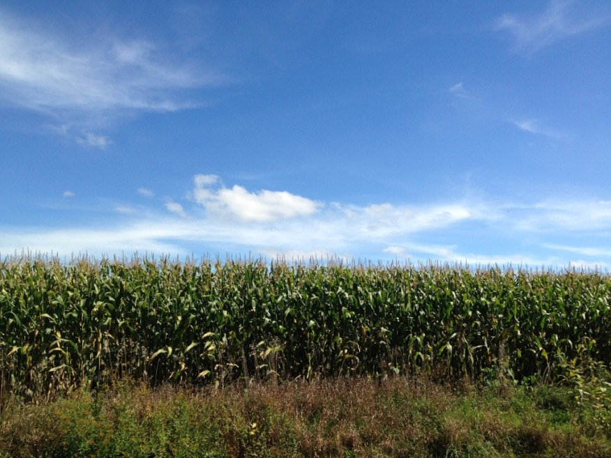 Maine- corn field