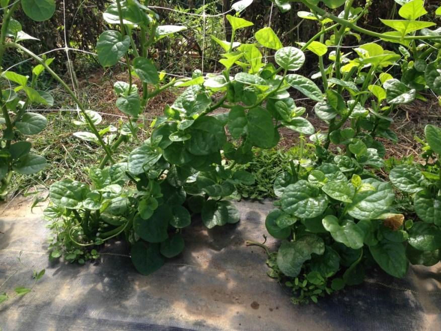 farms- spinach