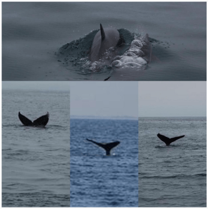 Dolphins and whales in Monterey Bay