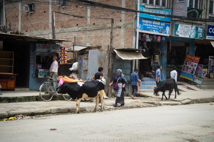 kuehe_strasse_kathmandu_nepal