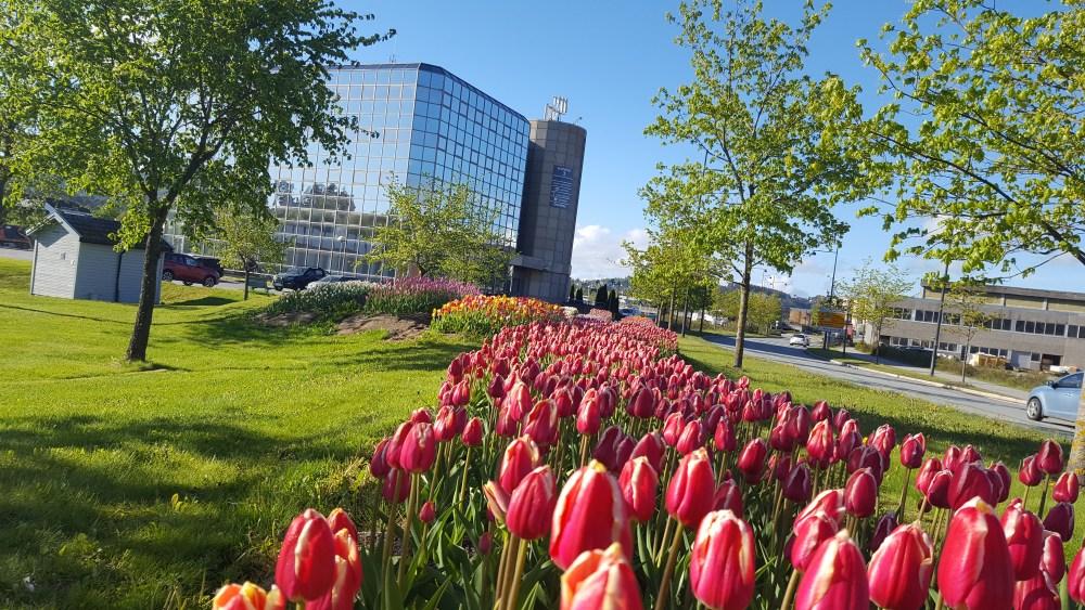 Like mange tulipaner som innbyggere - her ved E6 på nordsileiret