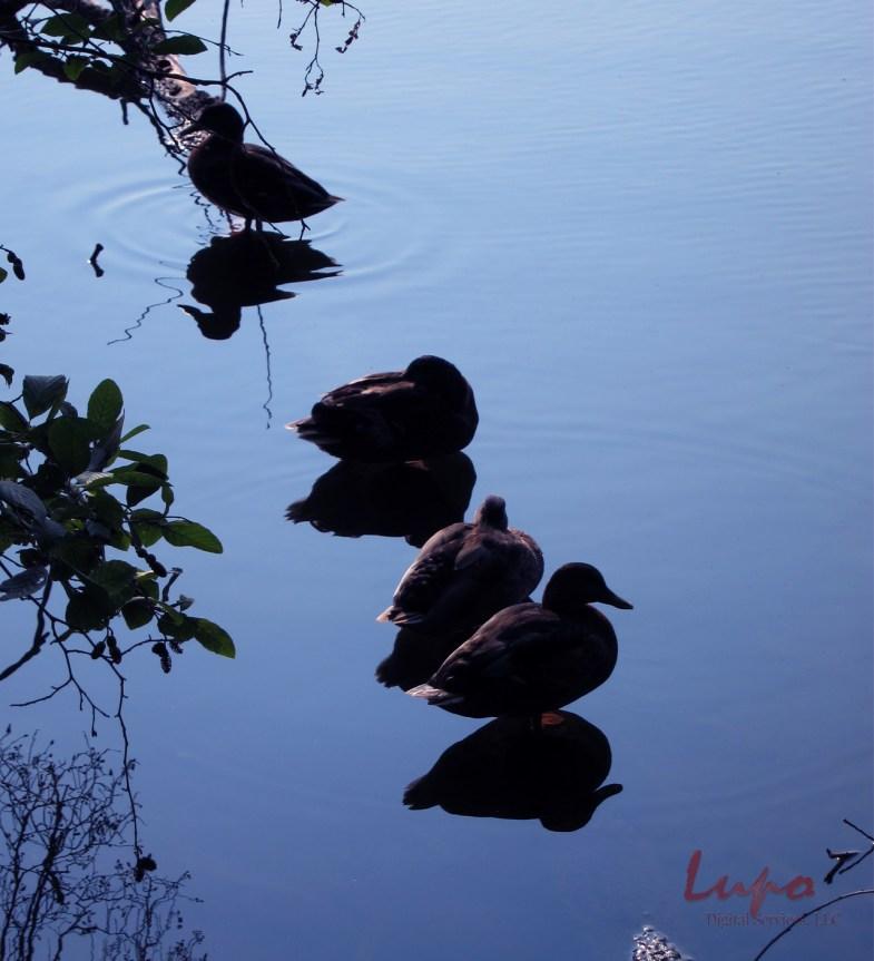 Ducks in a Row, Stone Mountain, GA, 2 July 2011