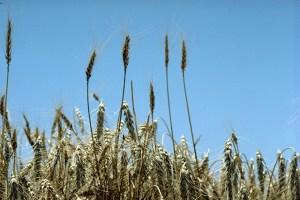 Wheat in Kansas, Photo by David F. Warren, USDA
