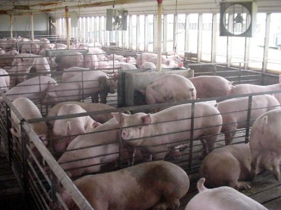 CAFO Hogs, USGS Photo