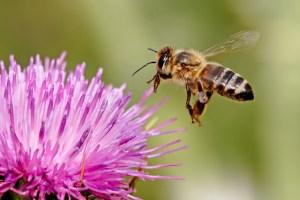 Honeybee landing on a milk thistle flower.  Photo by Fir0002/Flagstaffotos.