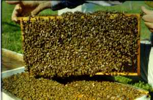 Measuring bee population in a beehive