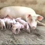 How To Start Pig Farming In Nigeria And All You Need To Know